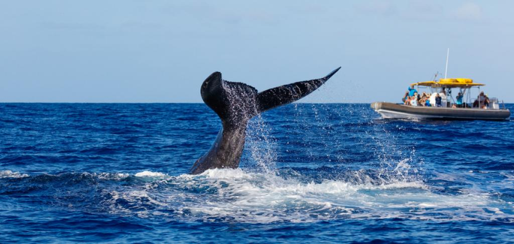 Whale Watching Maui | Paradise Activities | Maui Resorts
